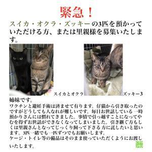 【緊急!!こちら肉球クラブ】3匹の猫の預かりさんと里親募集を致します!!