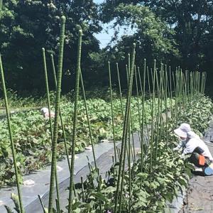夏野菜を安定して収穫するには