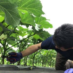 まだ小さい夏野菜の収穫