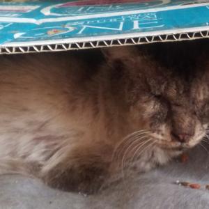 去勢手術をしたら、別猫になって帰ってきたマーブル。