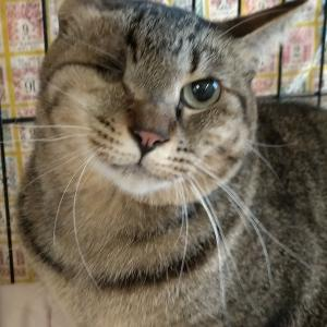 パニャリンピック参加予定の猫さんーきなこ