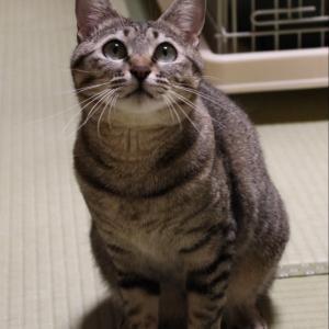 パニャリンピック参加予定の猫さんーめぐみちゃん