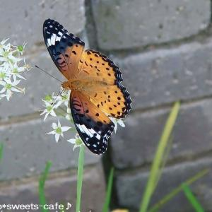 蝶と白い花