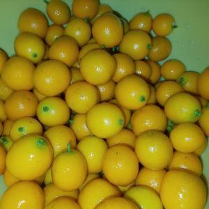 金柑の収穫と剪定