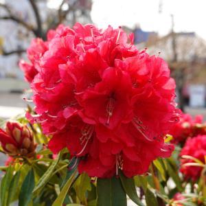 気品に溢れる花木の女王『赤の石楠花(シャクナゲ)』。