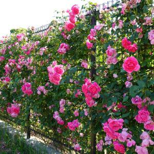 『60品種・約500株の薔薇』松阪ベルファームイングリッシュガーデン。