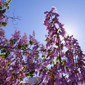 鳳凰が舞い降りてくるとされる桐の木(花)。