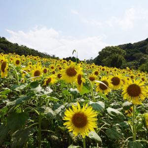 夏の終わりのヒマワリ祭り(伊勢志摩/志摩市観光農園)。