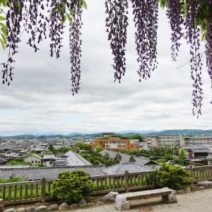 松坂城跡の樹齢300年以上の藤。