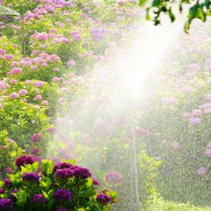 紫陽花の水遊び。
