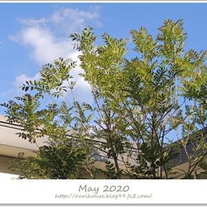 ■5月の「中庭」と「ヒメイワダレソウ」 -2020-