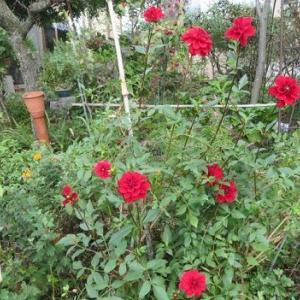 赤いダリア「女神」。秋だからかも。
