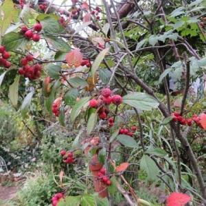 西洋カマツカ、ウメモドキの赤い実。スズランの実。ローストポーク