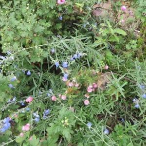 ブルーセージアズレアと千日紅の色合いが可愛い。A家訪問