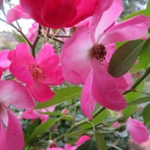 薔薇アンジェラ。秋だね~、栗、生姜、柿、頂く