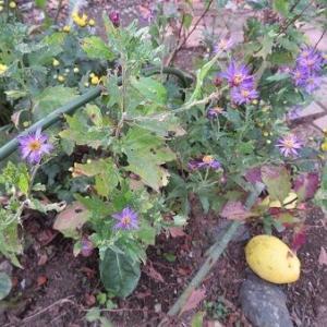 ノコンギクと黄菊とカリン。黄菊の小道。トマトで一人ランチ