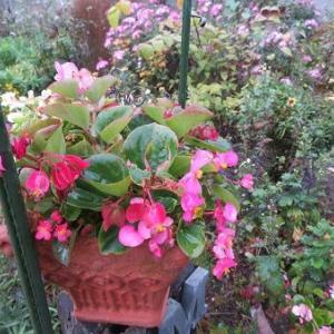 ベゴニアと小菊だらけの庭。柿。車の免許返上の話