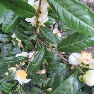 椿に似ているお茶の花と散歩。干し柿の景色