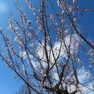 庭の梅の花が満開。金柑の甘露煮