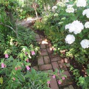 ホタルブクロと白紫陽花の小道。菖蒲園へ。おすそ分け