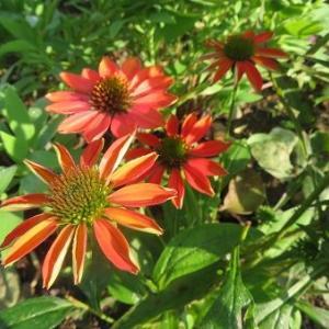 エキナセア再び開花。コルチカム全開。植物嫌いの人の進歩(笑)