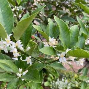 金柑の花とコレオプシス。ブルーベリー始めての収穫