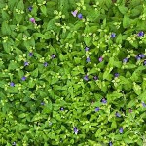 トレニア軍団。百日草も。ミョウガの花。そばサラダ