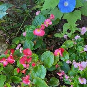 ベゴニアとの相性が良い庭。