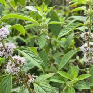 名前不明の植物の名前が分かりました。和ハッカ。