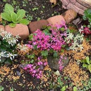 ダイモンジソウ咲き揃う。ラズベリーを食べる。小菊を飾る