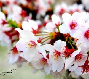 お花見***