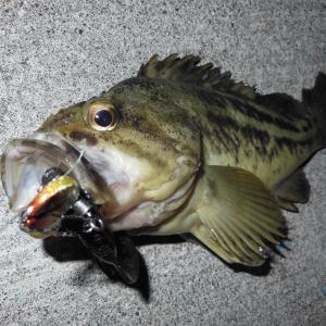 釣りで夕涼み!シマゾイがヒット!!