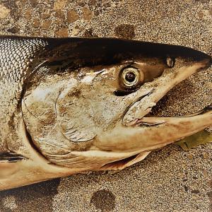8月中旬・稚内の釣り予想