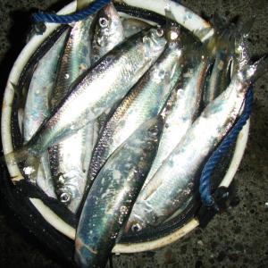 稚内・晩秋の釣り魚1