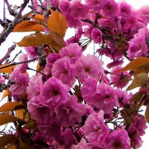 稚内・咲いていますが寒い!