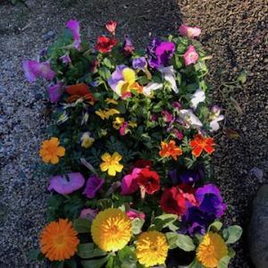コストコで見つけたセール品は花の苗24ポット796円!