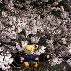 駿府城公園のソメイヨシノ 4月2日