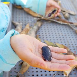 紫花豆の殻むき