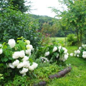 庭のアナベル