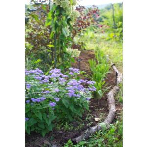 青色フジバカマと、株分けしたヘメロカリス。オルレアの発芽。