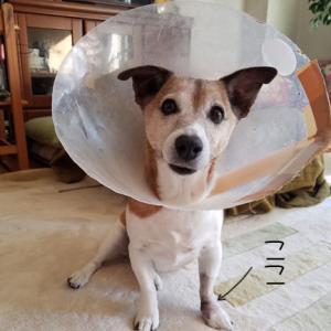 おソラ、今度は前足の手術