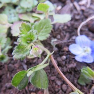 とっても小さいイヌノフグリの花@野川公園