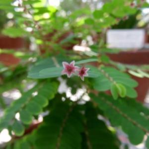 木になったコミカンソウ・ハナコミカンボク@小石川植物園