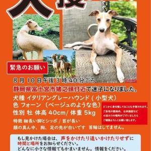[続] イタグレ迷子:静岡県富士宮市