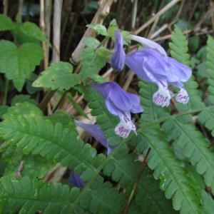 甘利山ハイキングで出会った花たち(ラショウモンカズラ・他)