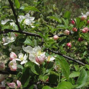 四阿山登山で出会った花たち(ズミ・他)