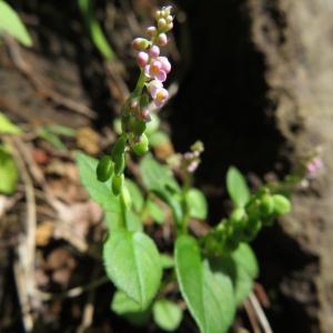 高座山ハイキングで出会った花たち(ヒナノキンチャク)