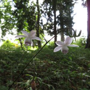大塚山ハイキングで出会った花たち(レンゲショウマ・他)