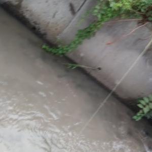 2019.6.29  用水路のナマズ