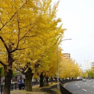 堀川通り。イチョウ並木。